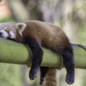 Sleeping Red Panda: animal sleep science to help us sleep better