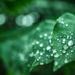 dew on leaves