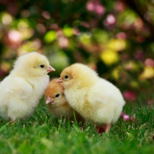 three baby chickens rethink eggs