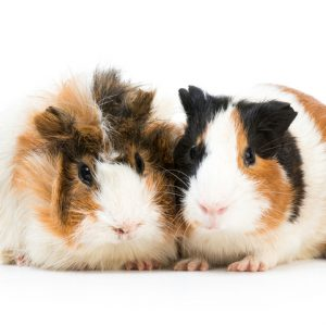 two guinea pigs for guinea pig awareness week