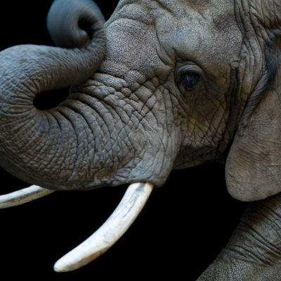 Close up image of African Elephant by Joel Sartore