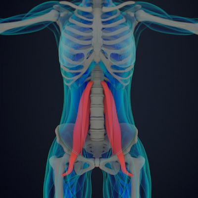 psoas in human anatomy