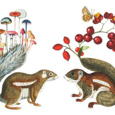 Squirrels illustration