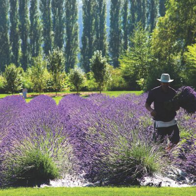 Woodinville Lavender field