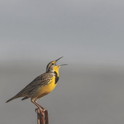Yellow bird standing on pole with a misty grey background