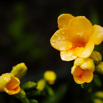 freesia flowers on dark background