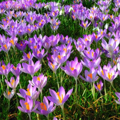 Krocus flowers