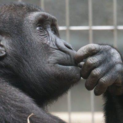 primate ape thinking