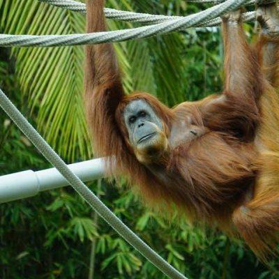 orangutan hanging from tree in jungle