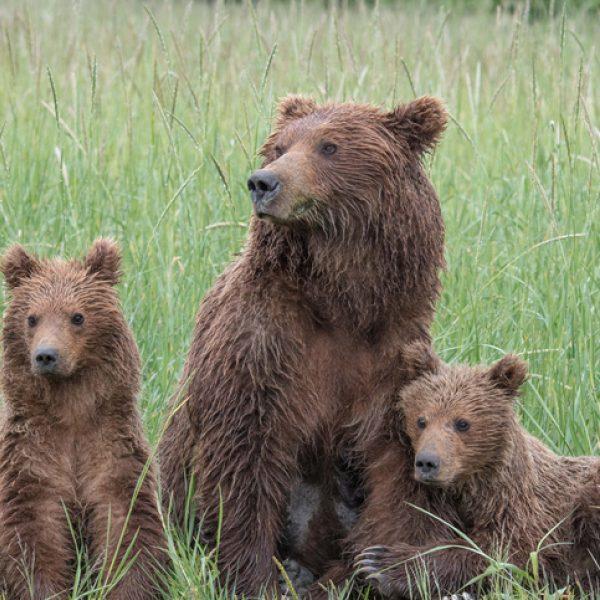 Three bears in a field
