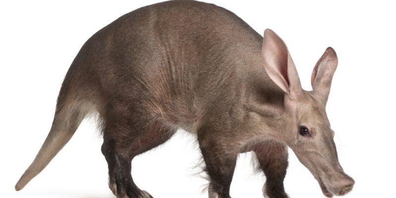 aardvark against white background