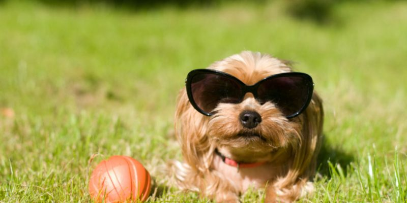 A dog wears sunglasses
