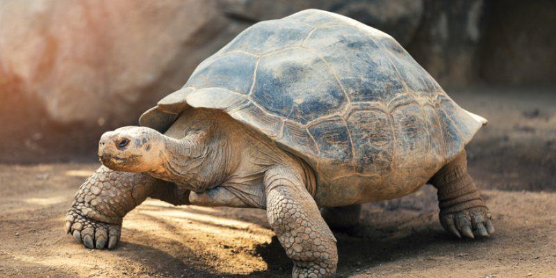 Large brown tortoise in dirt