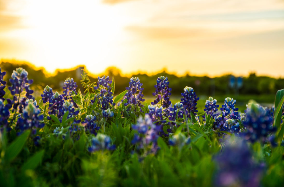 Flowers in a field at sunset