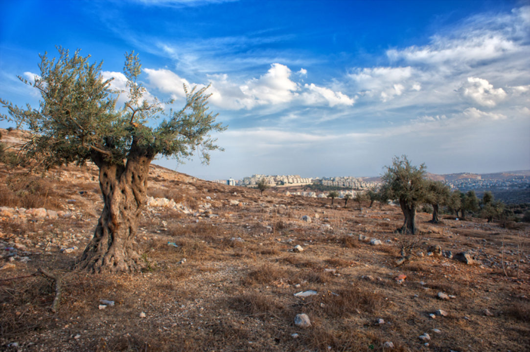 Olive trees in Israel