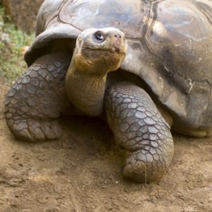 Large brown tortoise in dirt