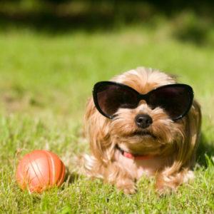 A dog wears sunglasses