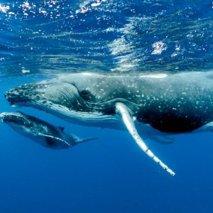 hump back whales swimming attachment distress