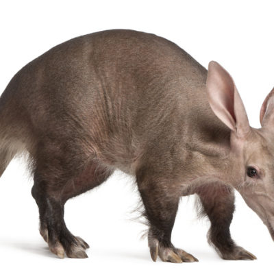 aardvark against white background