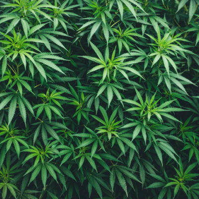 many leaves of marijuana a hybrid of sativa and indica in greenhouse plantation