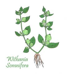 Withania Somnifera, the latin name for ashwagandha