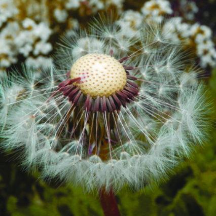 Dandelion Seed Deana Holbova