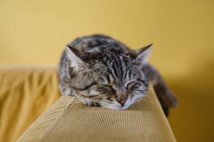 Kitten sleeping on yellow sofa arm