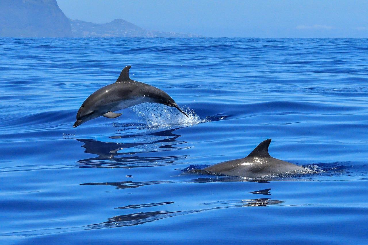 海豚藉由發出聲響,用聽覺器官接收回聲來探測周圍環境,尋找食物,聯絡夥伴。但科學家認為,噪音已經成為擾亂海洋生態系的重大元兇之一,許多海洋物種的生命週期都因為噪音而受到嚴重干擾。(圖/pixabay)