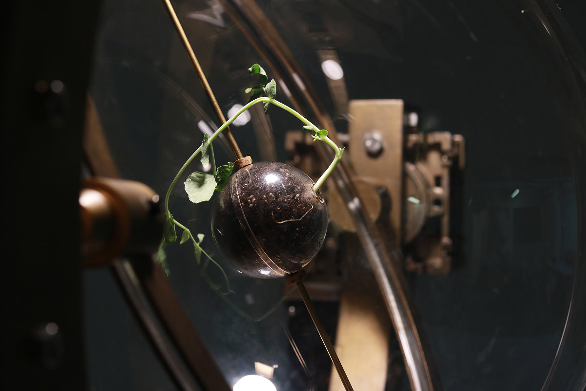 周巧其利用植物向光背地特性,指揮豌豆苗長成方形(圖/清華大學)