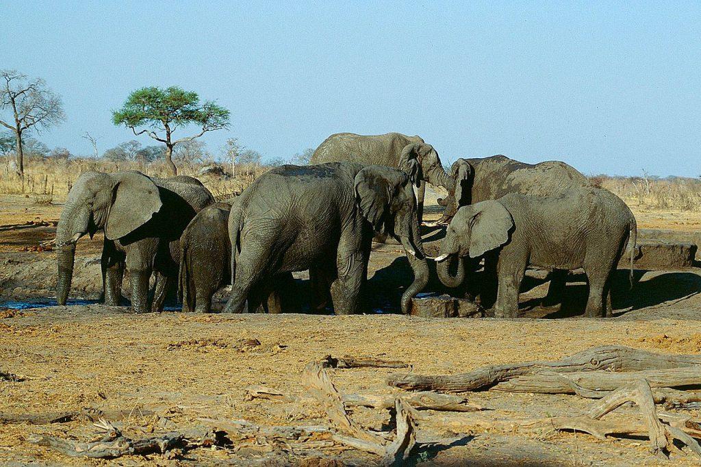 辛巴威萬基國家公園(Hwange National Park)的象群(圖/Jürgen Kehrberger/CC BY-SA 3.0)
