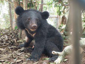 利稻黑熊健檢 不滿一歲小公熊還不能野放(圖/台東林管處)