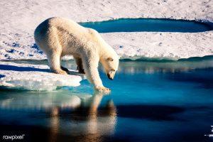 全球暖化,北極熊(圖/ rawpixel)