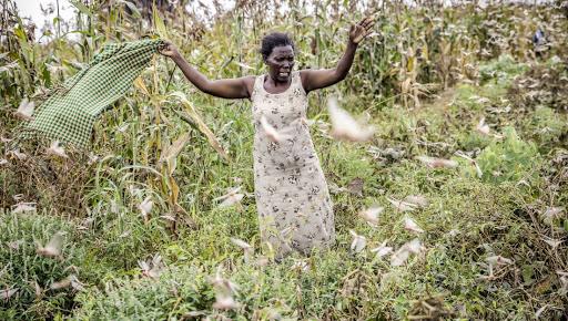 武肺+蝗蟲 非洲深陷雙重三級人道緊急事件(圖/聯合國農糧署)