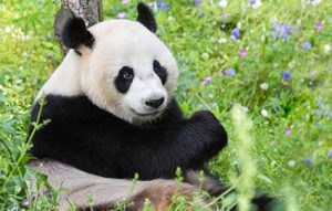 荷蘭屋維漢茲動物園(Ouwehands Dierenpark)的貓熊(圖/Ouwehands Dierenpark)