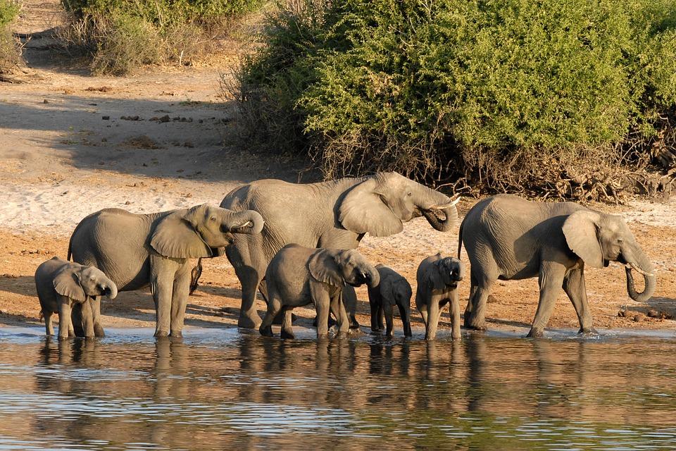 波札那大象(圖/pixabay)
