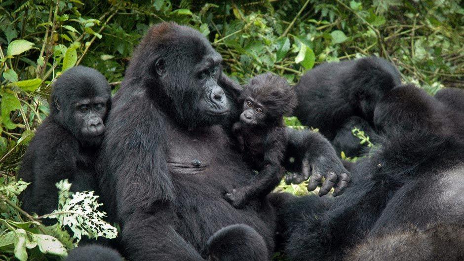 烏干達布溫迪國家公園(Bwindi National Park)的大猩猩(圖/TASHOBYA/CC BY-SA 4.0)