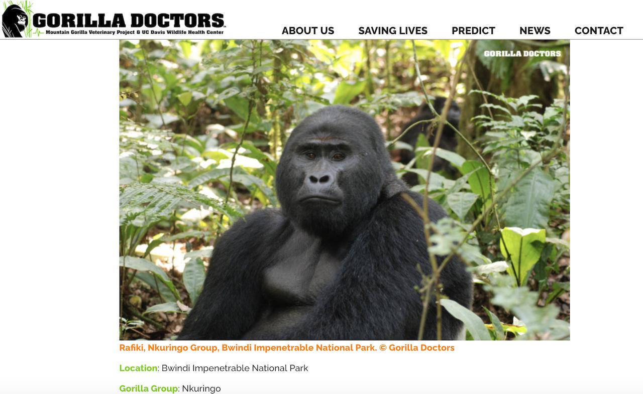 被殺害烏干達銀背大猩猩 Rafiki(截圖自 gorilladoctors.org)