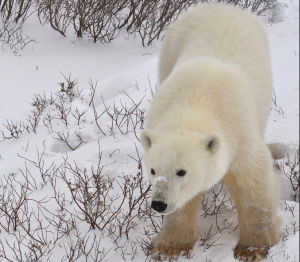 北極熊 Polar Bear(Teresa/CC BY 2.0)