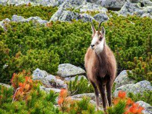 Tatra Chamois 波蘭 Tatra 羚羊(圖/Jakub Fryš/CC BY-SA 4.0)