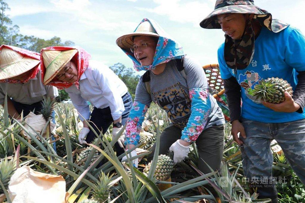 中國海關總署公告,3月起暫停進口台灣鳳梨。交通部長林佳龍(右2)26日在臉書貼文分享到台東鳳梨田採收新鮮鳳梨的照片,力挺鳳梨農,並指示交通部各單位協助採購在地鳳梨。