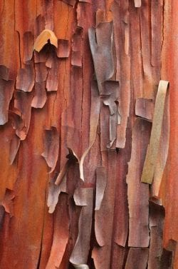 Textures | [The peeling bark of an Arbutus evergreen tree Pacific No