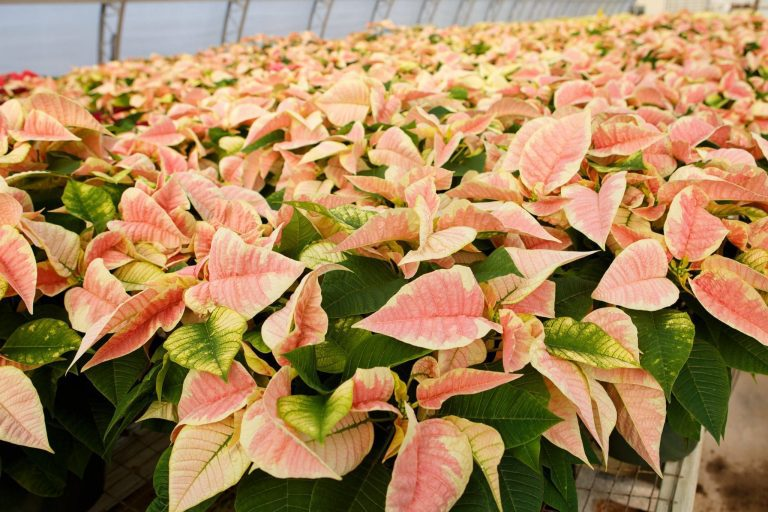 All You Need to Know About Pointsettias