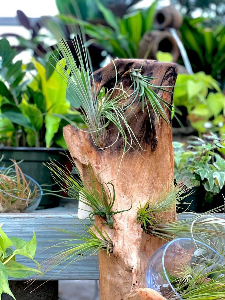 """Not Always """"In the Dirt"""" – Air Plants Thrive Soil-Free!"""