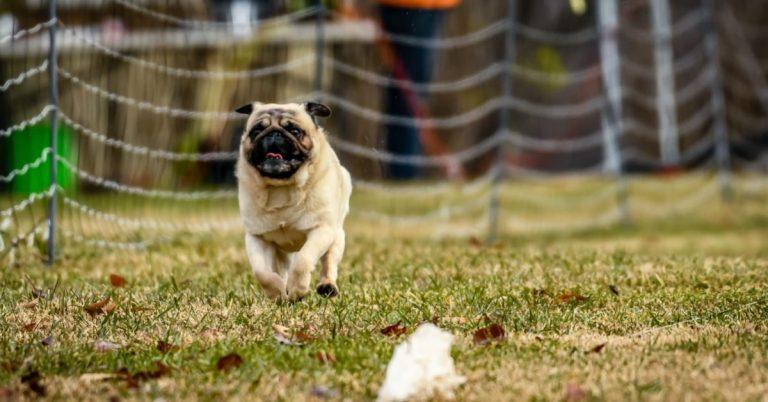 Meet Hurricane Lloyd – Alexandria's Top-Ranked Pug