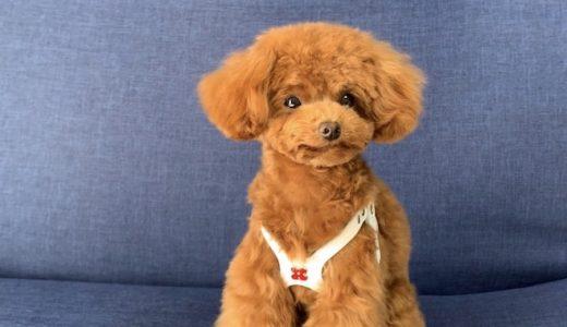 バディーベルトとは?お散歩中の愛犬の負担を軽減するバディーベルトの特徴