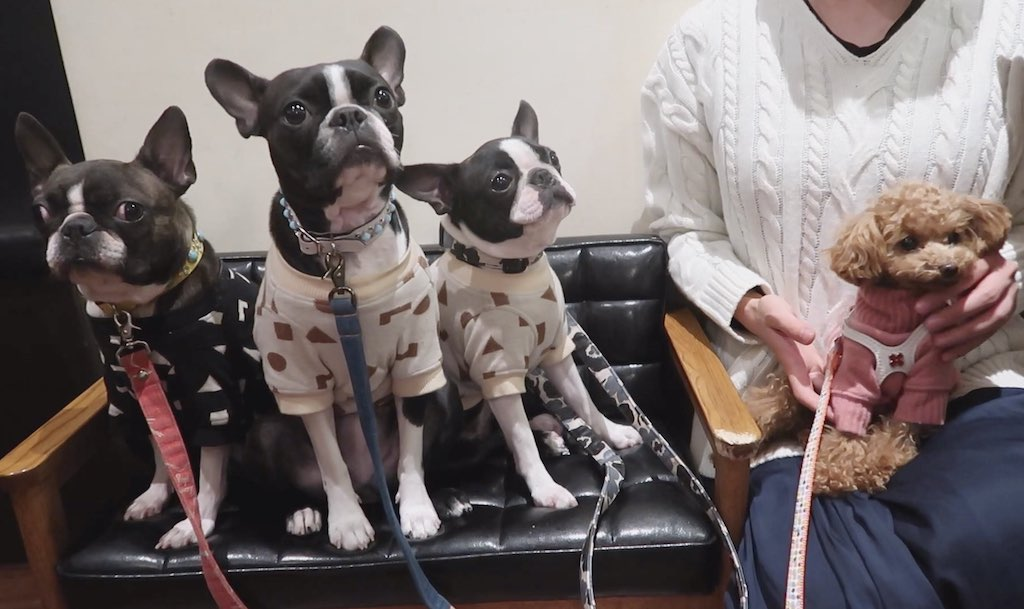 博多やきもんの看板犬ボストンテリア