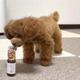マヌカハニーを舐める愛犬コロン