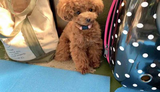 成犬時の大きさは?ティーカッププードルの成犬の大きさ・あるあるについて