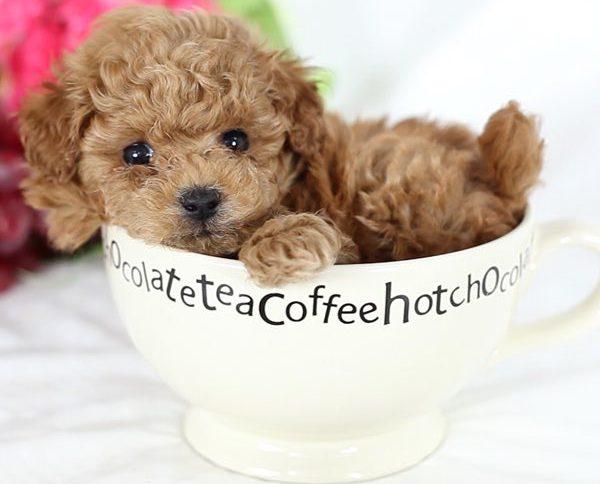teacup-poodle
