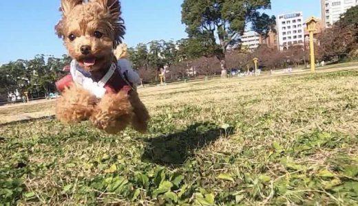 飛行犬とは何なのか?可愛すぎる空飛ぶ犬「飛行犬」になるための方法